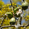 A pair of Yellow-chevroned Parakeets eating the seeds from inside a pod of a Floss Silk Tree