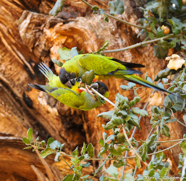 Two Black-hooded Parkeets playing