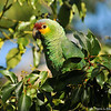 A Red-lored Parrot in a Camphor tree