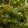 A hybrid parrot eating berries in a Camphor Tree