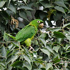 A Mitred Parakeet eating fruit from a Hackberry tree at the LA Arboretum