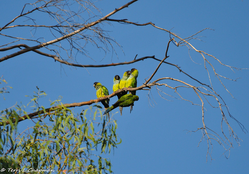 Black-hooded Parakeets in Malibu, California