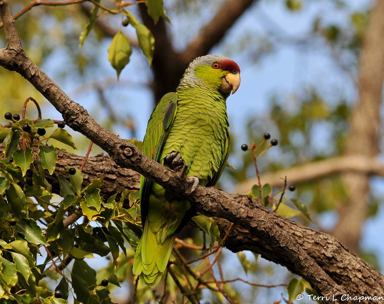A Lilac-crowned Parrot perched in a Camphor tree
