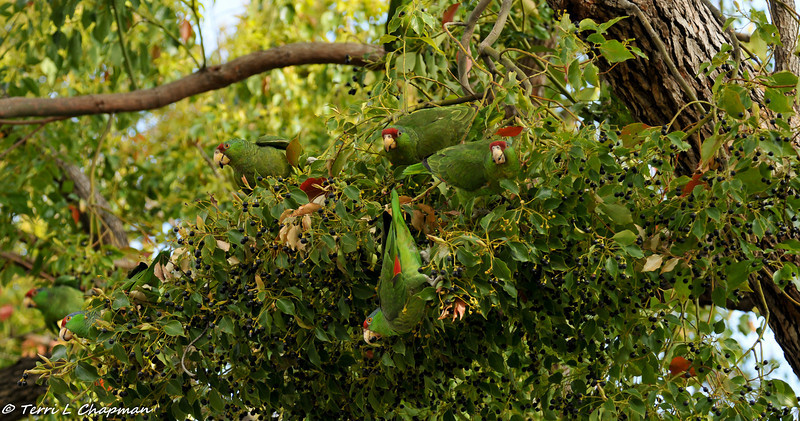 Six (6) Red-crowned Parrots eating berries of a Camphor tree in my neighbors front yard