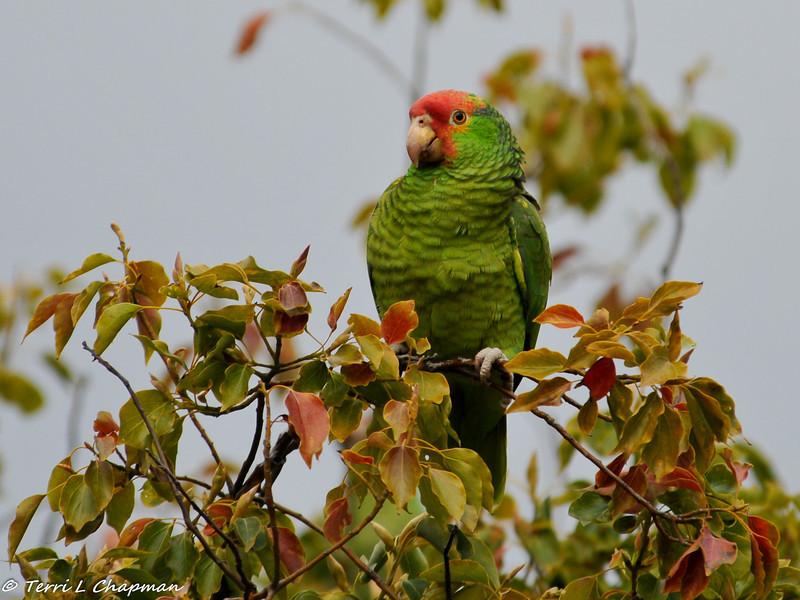 Amazon parrot - perhaps a hybrid?