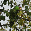 Lilac-crowned Parrot eating berries of a Camphor tree