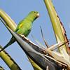 Yellow-chevroned Parakeet perched in a large Bird of Paradise plant