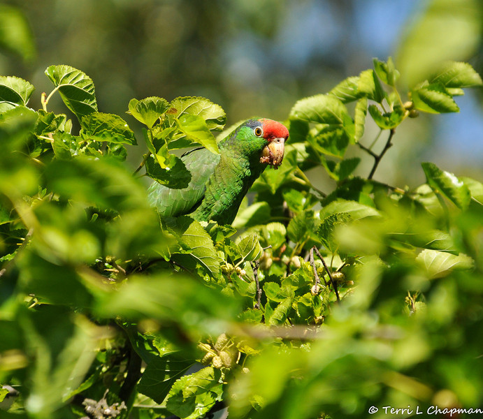 A Red-crowned Parrot at the top of a Mulberry Tree, eating ripe berries