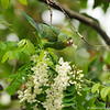 A free flying Yellow-chevroned Parakeet eating the blooms of a Black Locust Tree
