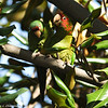 Mitred Parakeets. The parakeet on the right had just torn off a piece of a Magnolia leaf and the leaf was captured on the image as the parakeet was tossing the leaf.