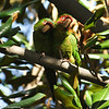 Mitred Parakeets in a Magnolia tree in Pasadena, California