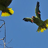Wild Lilac-crowned Parrots in flight