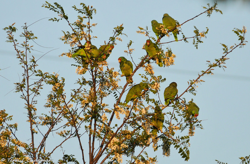 A flock of Red-crowned Parrots at sunset