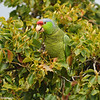 A Lilac-crowned Parrot in a Camphor Tree