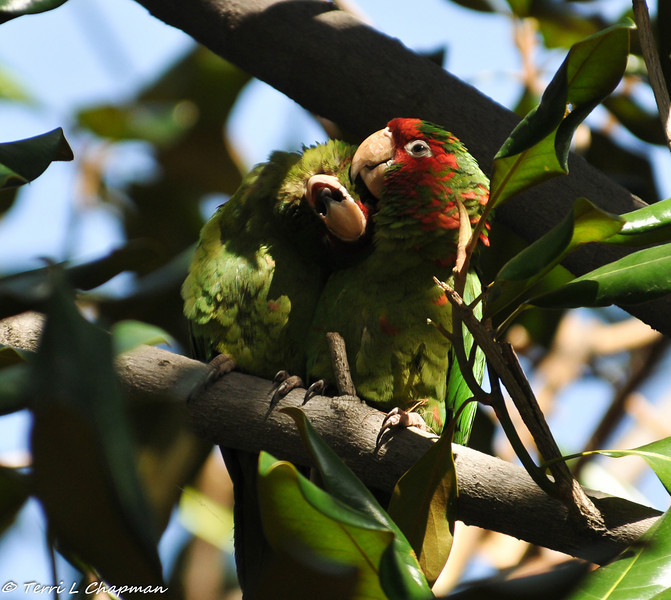 Mitred Parakeets in a Magnolia tree - one parakeet is grooming the other