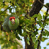 A Red-crowned Parrot eating berries of a Camphor tree
