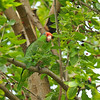 A wild Red-crowned Parrot in a Mulberry tree in Arcadia, California