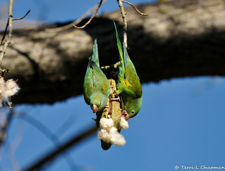 Two free flying Yellow-chevron Parakeets hanging from a seed pod of a Floss Silk tree and eating the seeds out of the pod.