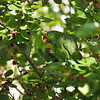 A wild Red-crowned Parrot eating a ripe Mulberry in a Mulberry tree located in Arcadia, California