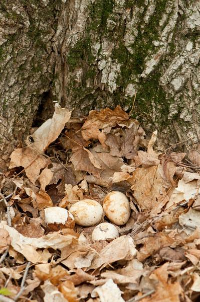 AWT-10141: Wild Turkey Eggs