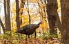 Eastern Wild Turkey in fall