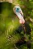 AWT-11303: Eastern Wild Turkey Gobbler
