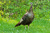 AWT-11274: Easter Wild Turkey Hen