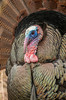 Gobbler in full display