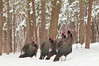 APR-11027: Gobblers in winter---      Note: Small green pole was cloned out