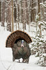 AWT-13-112: Strutting Gobbler after spring snow storm