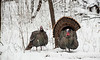 AWT-13-86: Gobbler pair after spring snow storm