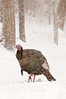 AWT-11105: Scratching for winter food