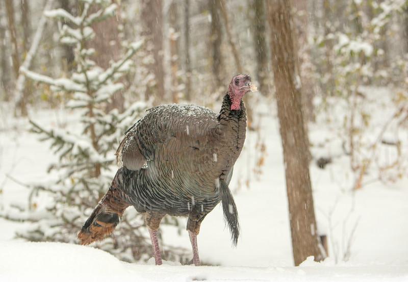 Gobbler in snow storm