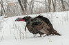 Gobbling in snow storm