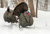 Gobblers in falling snow