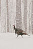 AWT-11112: Gobbler heading for cover