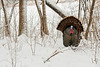 AWT-13-52: Gobbler displaying after April snow storm