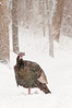 AWT-11101: Gobbler in snow storm