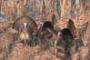 AWT-11146: Gobblers in full display