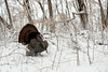 AWT-13-78: Gobbler in winter habitat