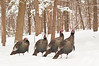 APR-11025: Wintering Gobblers---   Note: I did clone out green pole left from upper left