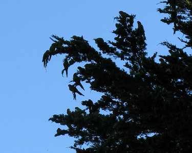 Wild parrots of Telegraph Hill, San Francisco, March 2008