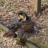25 March 2012 Baikal Teal at Birdworld, Farnham