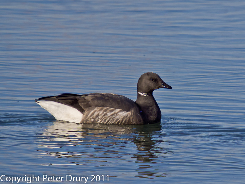 08 February 2011. Brent goose at the Oysterbeds. Copyright Peter Drury 2011