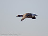Brent goose flying over Farlington Marshes. Copyright Peter Drury 2011