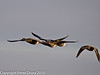 12 Dec 2010 - Brent Geese at Farlington Marshes. Copyright Peter Drury 2010. From RAW file