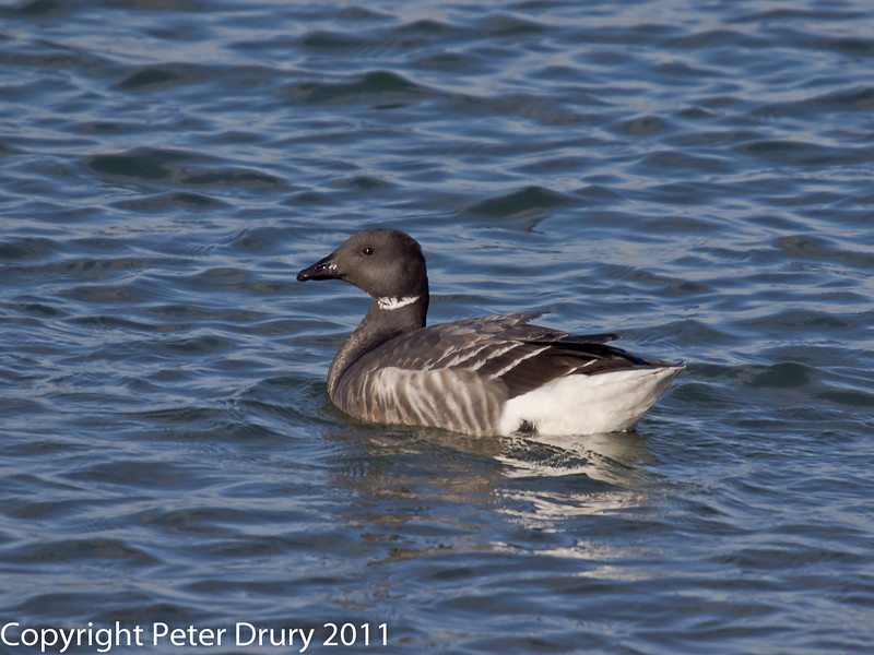 28 January 2011. Brent Goose in the lagoon at the Oysterbeds.  Copyright Peter Drury 2011