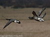 Brent Geese at Farlington Marshes. Copyright Peter Drury 2010