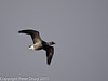 17 February 2011. Brent Goose flying in to the lagoon at the Oysterbeds. Copyright Peter Drury 2011