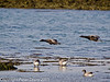 03 February 2011. Brent geese flying in to join the flock north of the oysterbeds. Copyright Peter Drury 2011